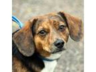 Adopt Bear a Tricolor (Tan/Brown & Black & White) Dachshund / Beagle / Mixed dog