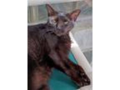 Adopt Holly a Domestic Shorthair / Mixed (short coat) cat in Ft.