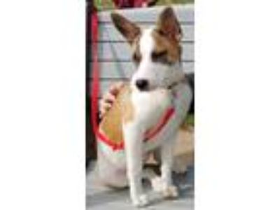 Adopt Olive a Australian Shepherd / Collie / Mixed dog in Scottsboro