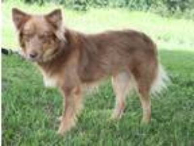 Adopt Foxy Lady a Red/Golden/Orange/Chestnut Australian Shepherd / Mixed dog in