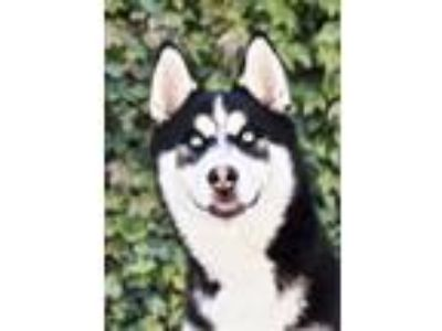Adopt Luna a Black - with White Siberian Husky / Mixed dog in El Cajon