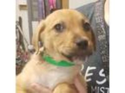 Adopt Thanos a Brown/Chocolate Collie / Cattle Dog dog in Columbus