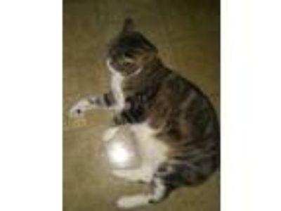 Adopt Jinx a Brown Tabby Domestic Shorthair cat in Nashua, NH (25664510)