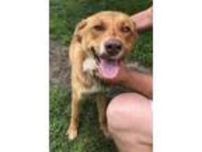 Adopt Mr. BoJangles a Red/Golden/Orange/Chestnut Irish Setter / Retriever