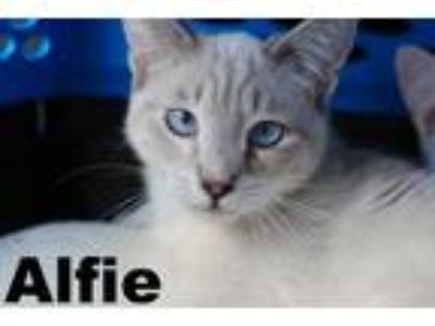Adopt ALFIE a Cream or Ivory (Mostly) Siamese (short coat) cat in Brea