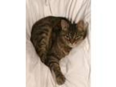 Adopt Callie LAP CAT a Brown Tabby Domestic Shorthair (short coat) cat in Bryn
