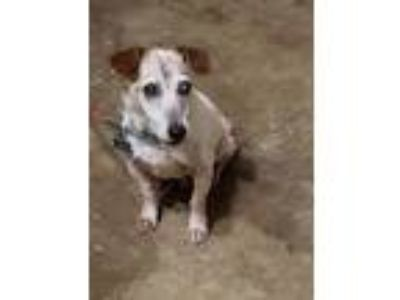 Adopt Toby a White - with Brown or Chocolate Jack Russell Terrier / Mixed dog in