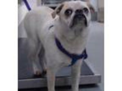 Adopt PABLO a White - with Tan, Yellow or Fawn Pug / Mixed dog in Albuquerque