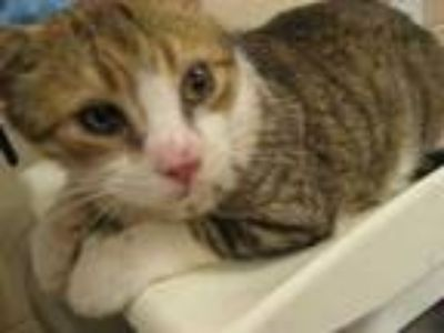 Adopt JOSHUA a Brown Tabby Domestic Shorthair / Mixed (short coat) cat in