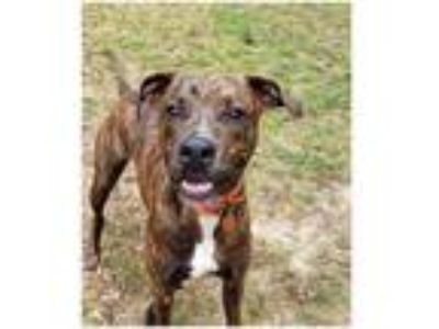 Adopt Bentley a Staffordshire Bull Terrier / Mixed dog in Commerce