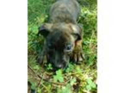 Adopt Cary a Brindle Labrador Retriever / American Staffordshire Terrier / Mixed