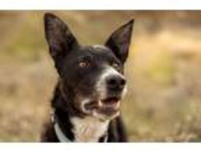 Adopt NEWT a Black - with White Border Collie / Chesapeake Bay Retriever / Mixed
