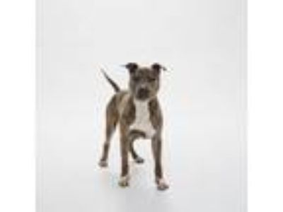Adopt Carter a American Staffordshire Terrier