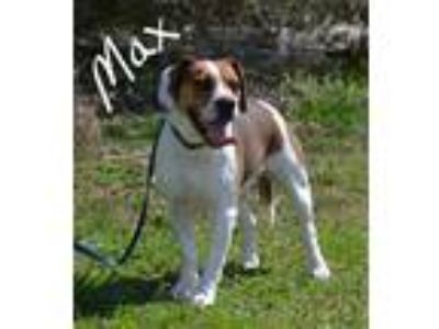 Adopt Max a Tricolor (Tan/Brown & Black & White) Beagle / Mixed dog in Lebanon