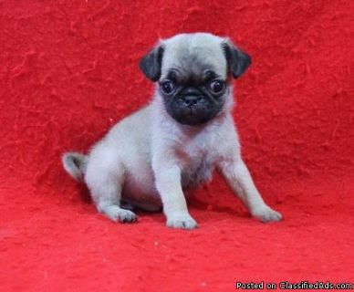 Champion Pug Litter Pde & Nme Clear