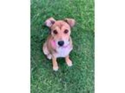Adopt Gemma a Tan/Yellow/Fawn - with White Pit Bull Terrier / Shepherd (Unknown