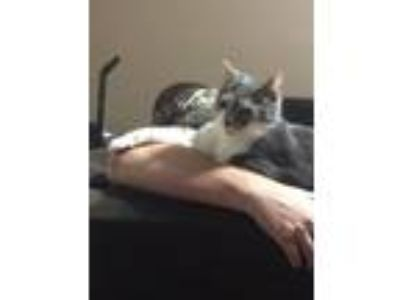 Adopt ZCL Kitty a Domestic Short Hair