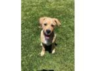 Adopt Leo a Tan/Yellow/Fawn Labrador Retriever / Mixed dog in Long Beach