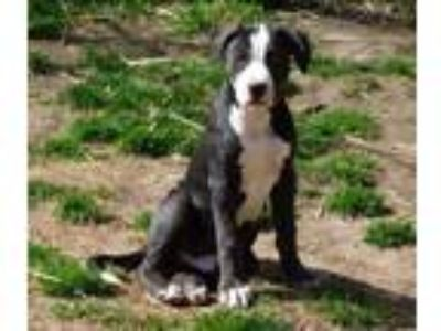 Adopt Moscato Winos a Black - with White Catahoula Leopard Dog / Great Dane /
