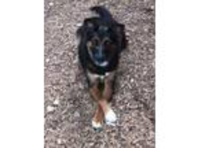 Adopt Delgado a Black Shepherd (Unknown Type) / Collie / Mixed dog in Cumming