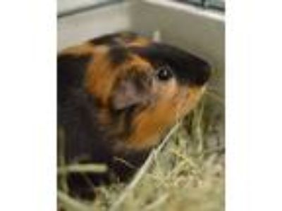 Adopt Graham a Guinea Pig small animal in Novato, CA (25940704)
