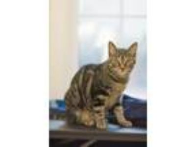 Adopt Anna Karenina a Brown Tabby Domestic Shorthair / Mixed (short coat) cat in
