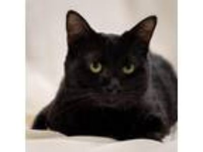 Adopt 81533 a All Black Domestic Shorthair cat in Las Cruces, NM (25305453)