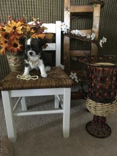 Ready Now CKC Chihuahua Puppies