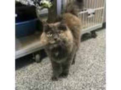 Adopt Echo a Gray or Blue Domestic Longhair cat in Great Falls, MT (24728010)