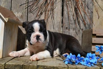 Tristen Male Boston Terrier AKC