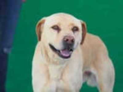 Adopt BELLE a Tan/Yellow/Fawn Labrador Retriever / Mixed dog in Baldwin Park