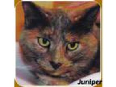 Adopt JUNIPER a Tortoiseshell American Shorthair (short coat) cat in Malvern