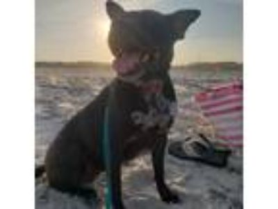 Adopt Winter a Black American Pit Bull Terrier dog in Yulee, FL (25252524)