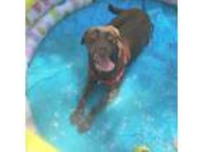Adopt Khaleigh a Labrador Retriever, Mixed Breed
