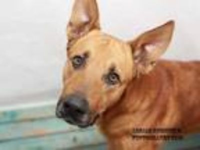 Adopt DIESEL a German Shepherd Dog