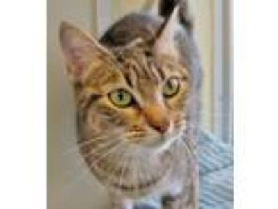 Adopt Jenkins a Domestic Short Hair