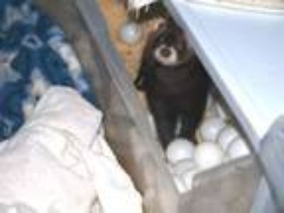 Adopt Bobble a Ferret (short coat) small animal in Acworth, GA (25797765)