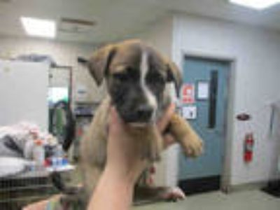 Adopt PEACHY a Brown/Chocolate - with Black German Shepherd Dog / Mixed dog in