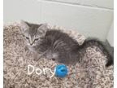Adopt Dory a Gray, Blue or Silver Tabby Domestic Shorthair / Mixed cat in