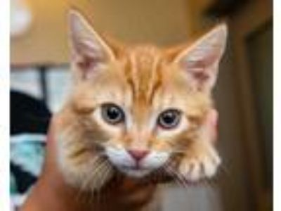 Adopt Walnut a Orange or Red Domestic Shorthair / Domestic Shorthair / Mixed cat