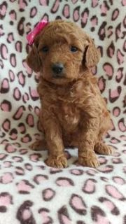 Goldendoodle PUPPY FOR SALE ADN-75127 - F2b Pearl