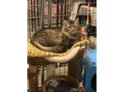 Adopt Sparkles a Maine Coon