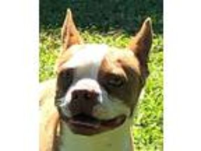 Adopt Blue Bear a Brown/Chocolate - with White Boston Terrier / Mixed dog in