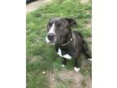 Adopt Molly a Pit Bull Terrier, American Staffordshire Terrier