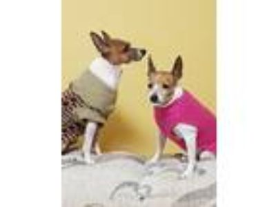 Adopt Opal and Pearl a Rat Terrier, Terrier