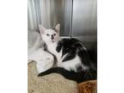 Adopt Magellan a White (Mostly) Domestic Shorthair (short coat) cat in