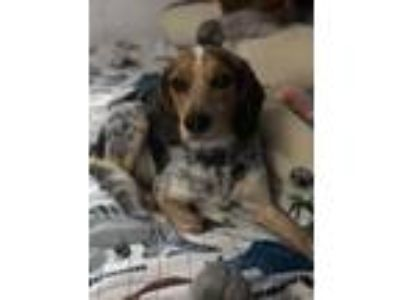 Adopt Piper in NE a Beagle