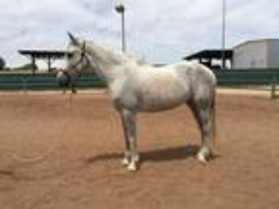 Gorgeous 12 Year Old Andalusian Mare for Dressage Prospect