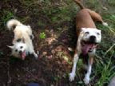 Adopt Stella a Red/Golden/Orange/Chestnut - with White Pit Bull Terrier / Boxer
