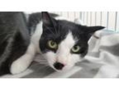 Adopt Olivia a Black & White or Tuxedo Domestic Shorthair / Mixed cat in